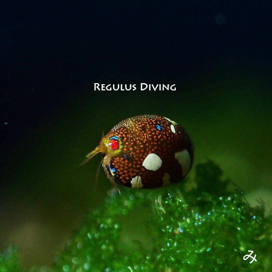 八丈島, ダイビング, 水中写真, 甲殻類