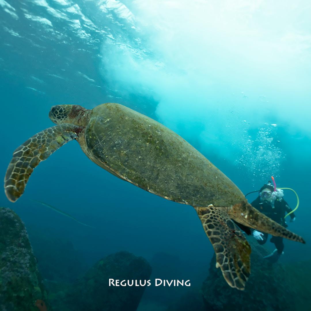 八丈島, ダイビング, 水中写真, アオウミガメ
