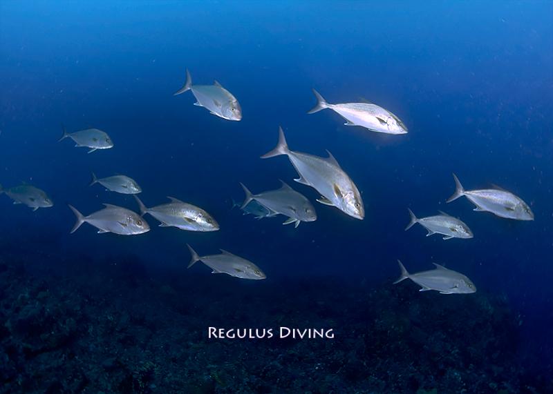 八丈島, ダイビング, ヒレナガカンパチ