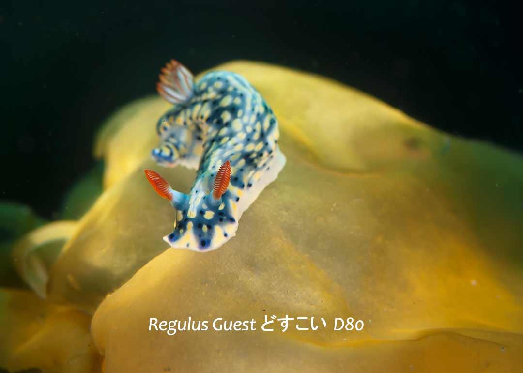 八丈島 ダイビング 水中写真 ウミウシ