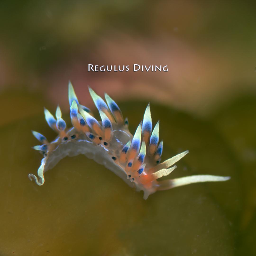 八丈島, ダイビング, 水中写真, ウミウシ