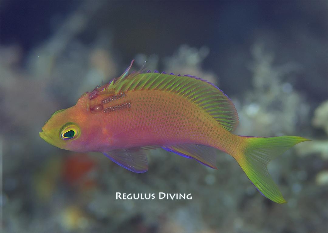 八丈島 ダイビング 水中写真 ハナダイ 寄生虫