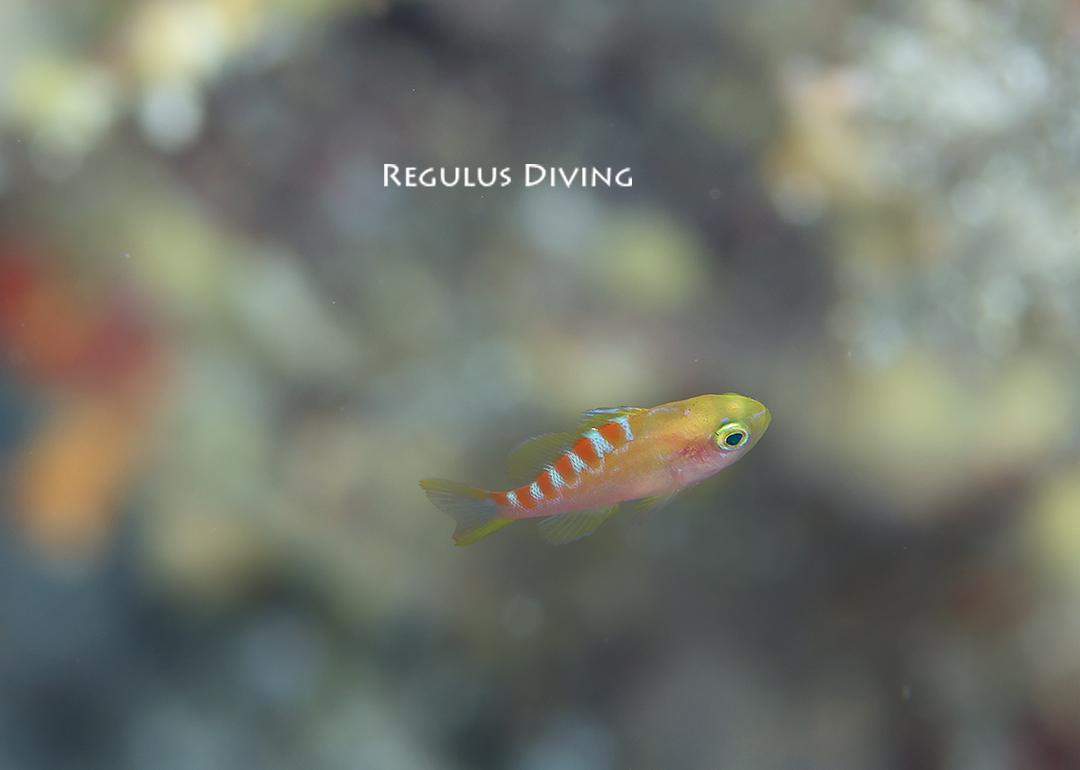 八丈島 ダイビング 水中写真 ハナダイ