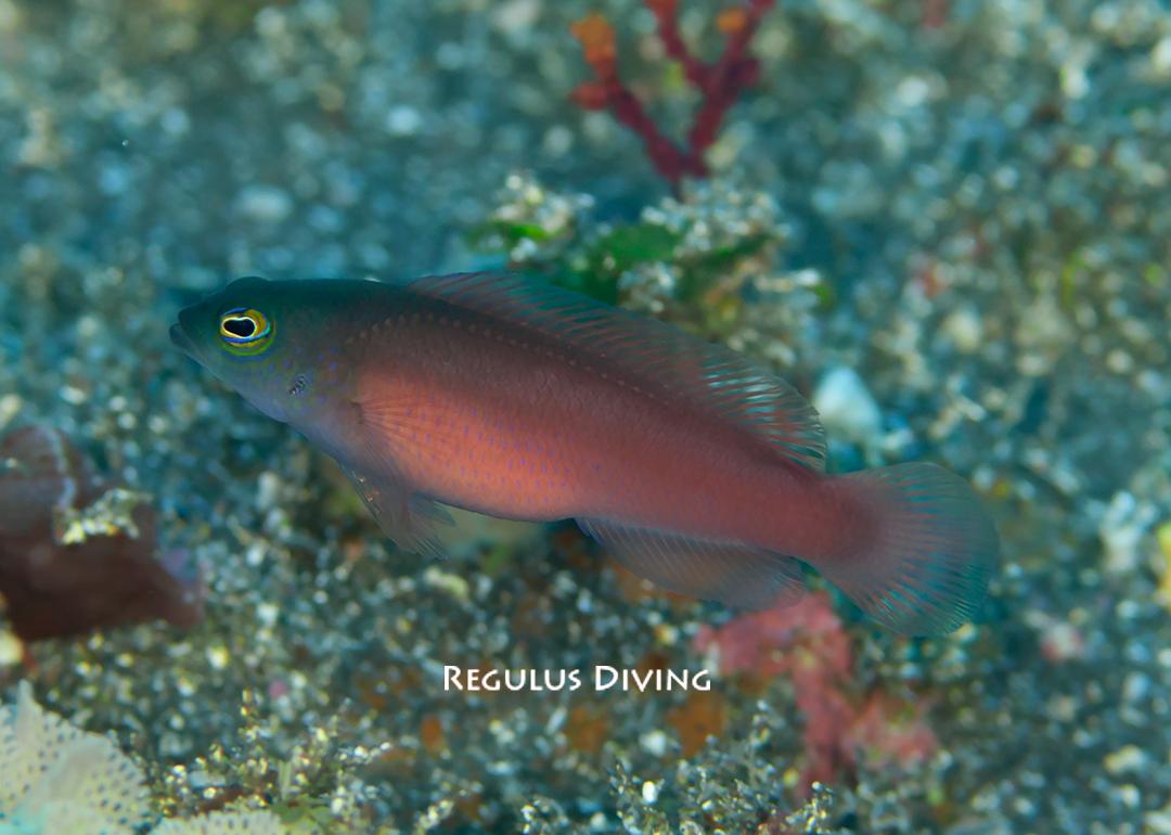 八丈島 ダイビング 水中写真 メギス