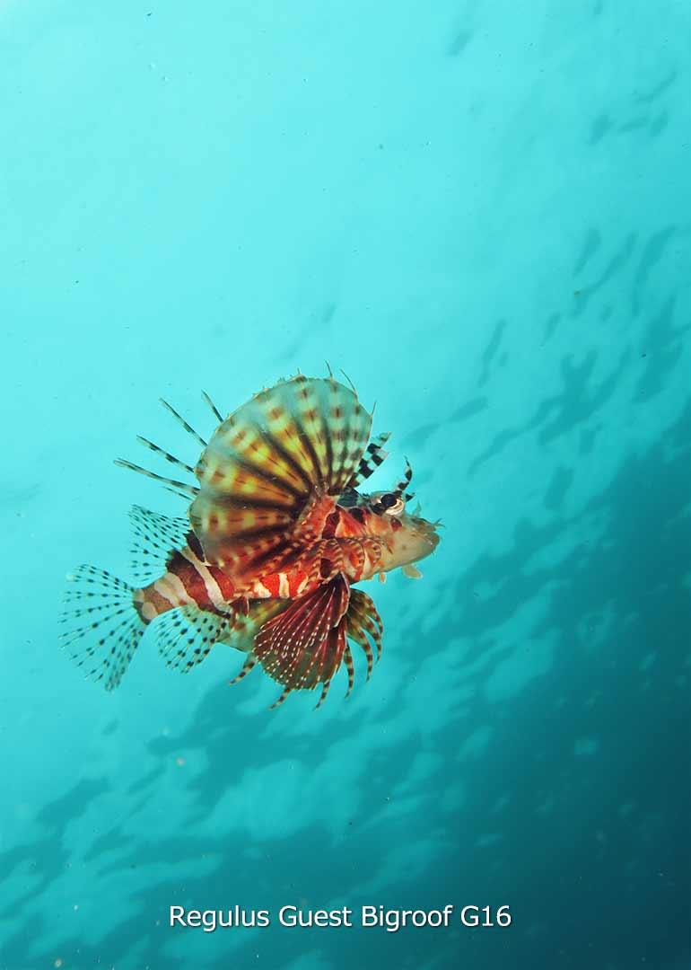 八丈島 ダイビング 水中写真 キリンミノ