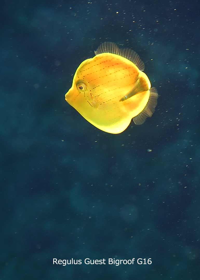 八丈島 ダイビング 水中写真 アオサハギ