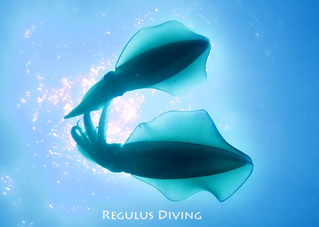 八丈島 ダイビング 水中写真 アオリイカ